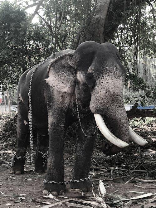 Free stock photo of animal, animal pet, asian elephant