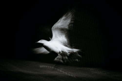 Pigeon with spread wings flying in darkness