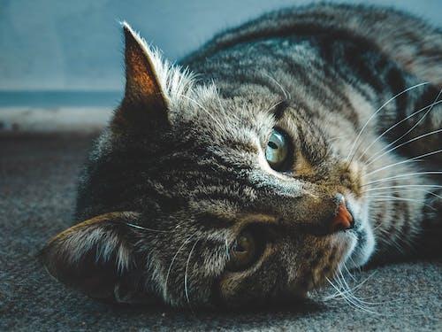 Безкоштовне стокове фото на тему «gato, gato ojos verdes, mascota, ojos»