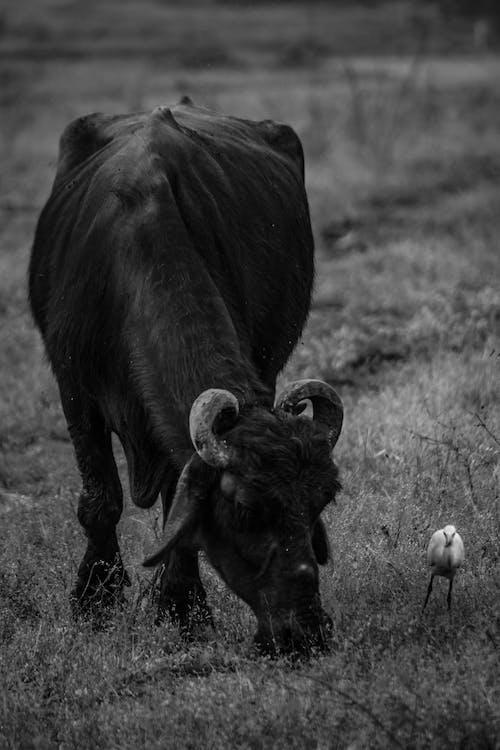 Photos gratuites de animal, bétail, bison, clairière