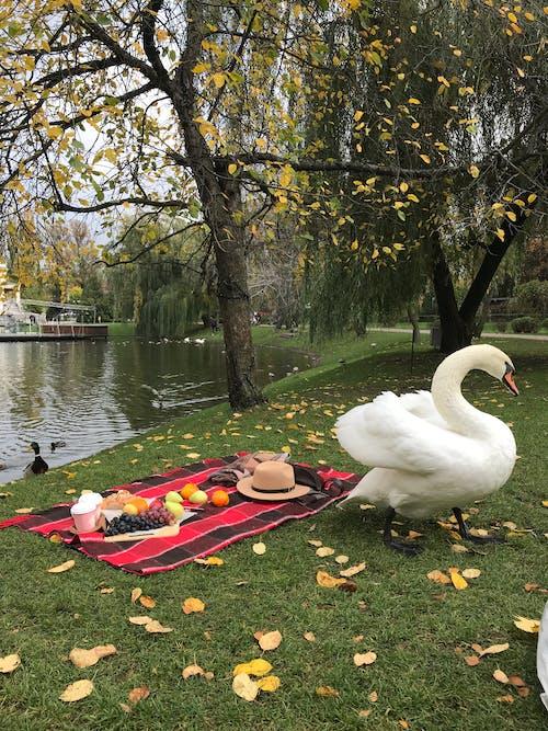 下落, 公園, 和平, 天鵝 的 免费素材图片