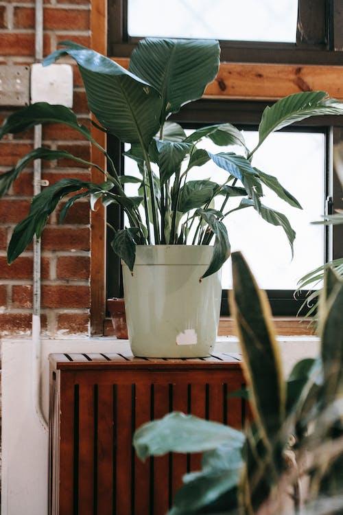 Roślina Doniczkowa Z Zielonymi Liśćmi Na Szafce