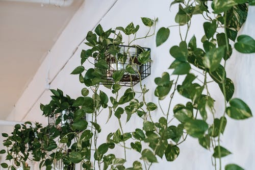 Lush climbing plant placed on white wall