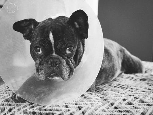 French Bulldog with Pet Cone