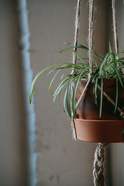Plant with long green leaves growing in clay pot hanging on rope on wall in building