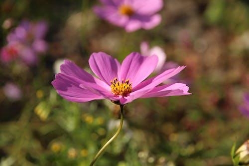 Bright blooming cosmos flower growing in summer garden