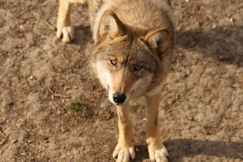 Brown Wolf on Brown Soil