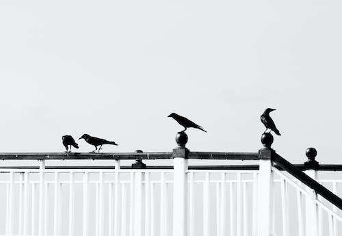 Бесплатное стоковое фото с ворон, ворона, ворона птицы