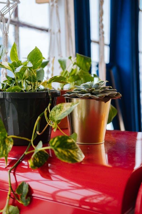 Immagine gratuita di basilico, cibo, crescita