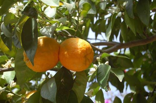 Fotobanka sbezplatnými fotkami na tému oranžová, ovocie