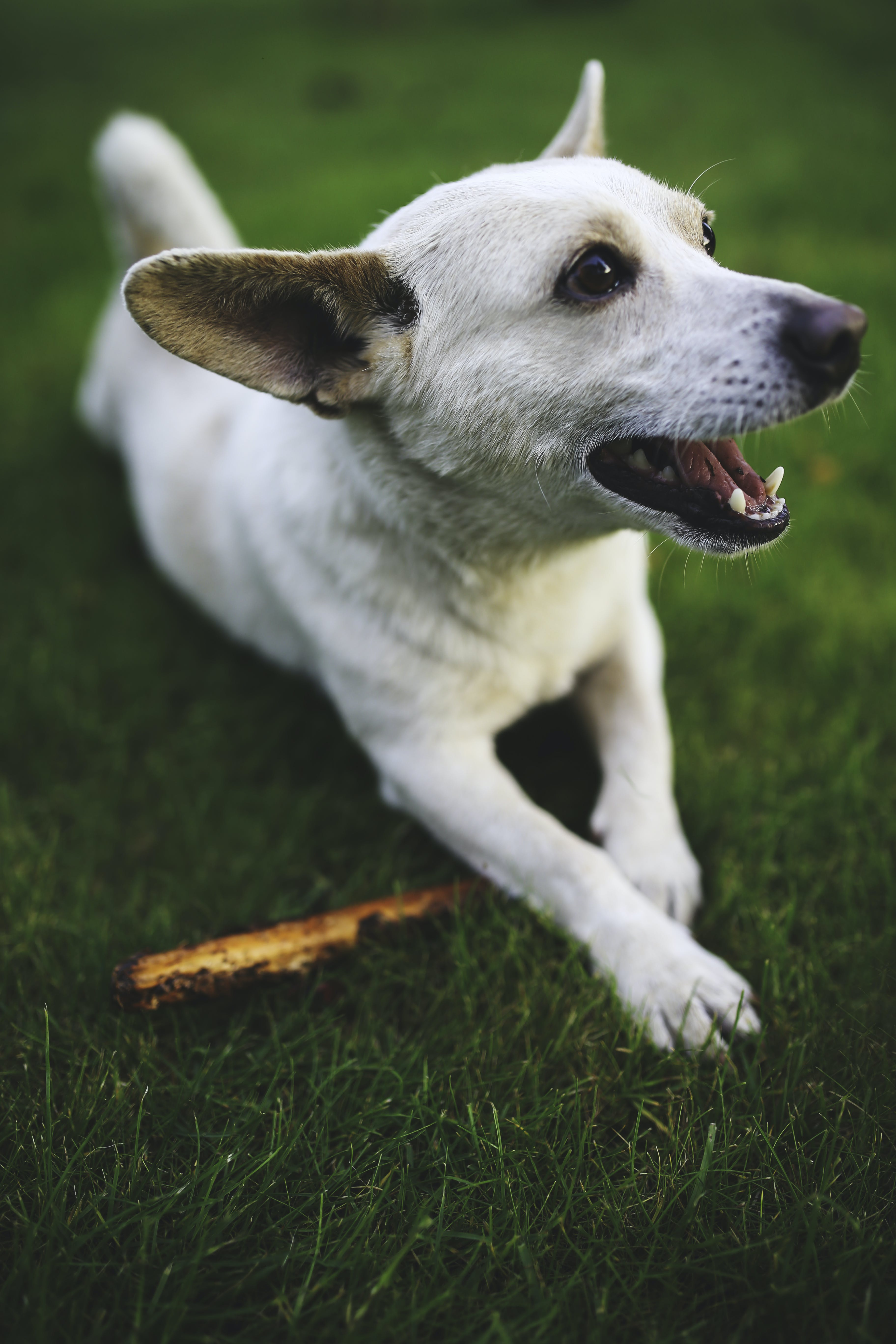 White dog with stick