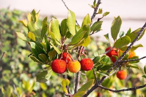Free stock photo of arbutus, fruta, madroño