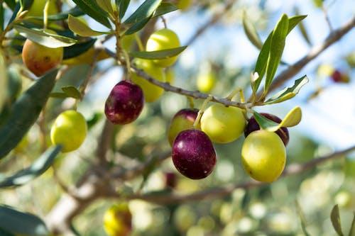 Free stock photo of black olives, fruit, olive tree, olives