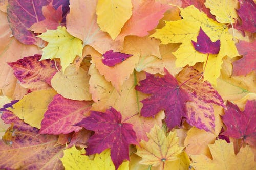 Yellow and Purple Maple Leaves