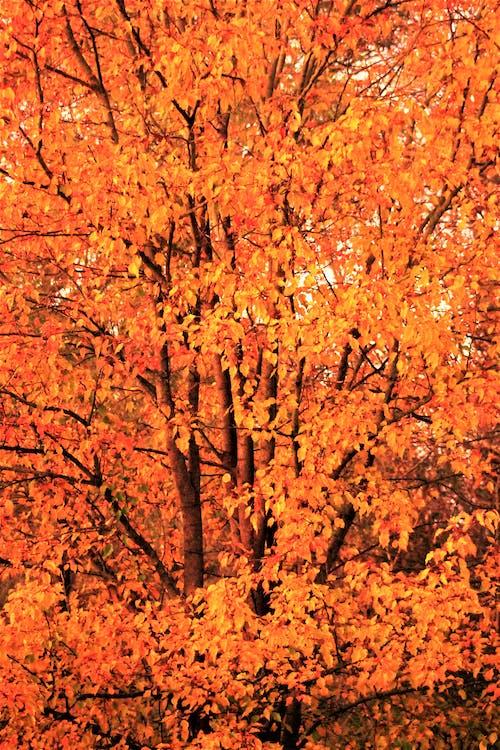 Immagine gratuita di acero, albero, ambiente