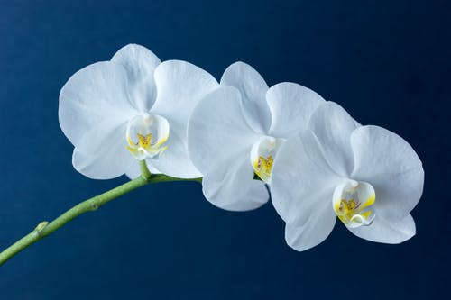 White Moth Orchids in Blue Background