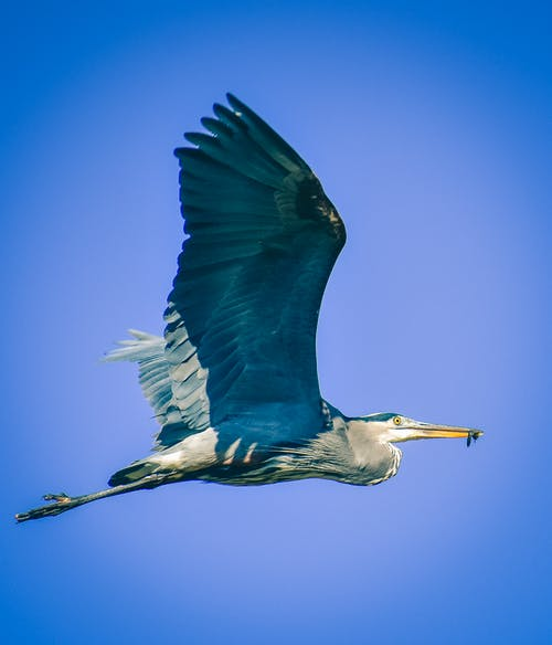 Low angle side view of wild heron with food spreading wings while flying over cloudless sky