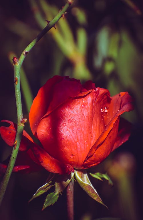 Bright red rose with clear drops