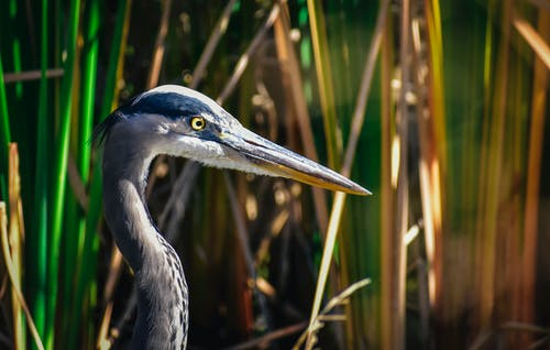 Gray heron among grass in wetland