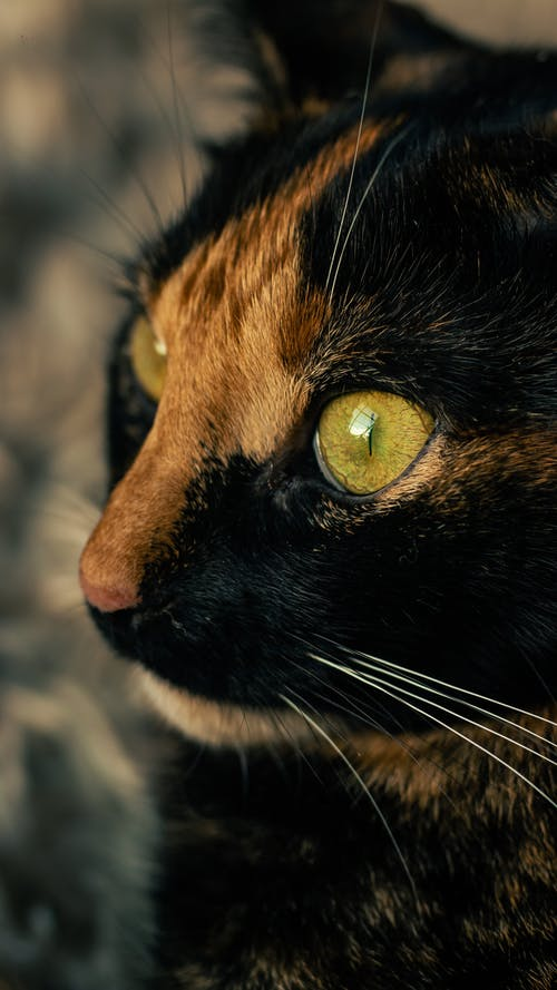 Black and Brown Cat With Yellow Eyes