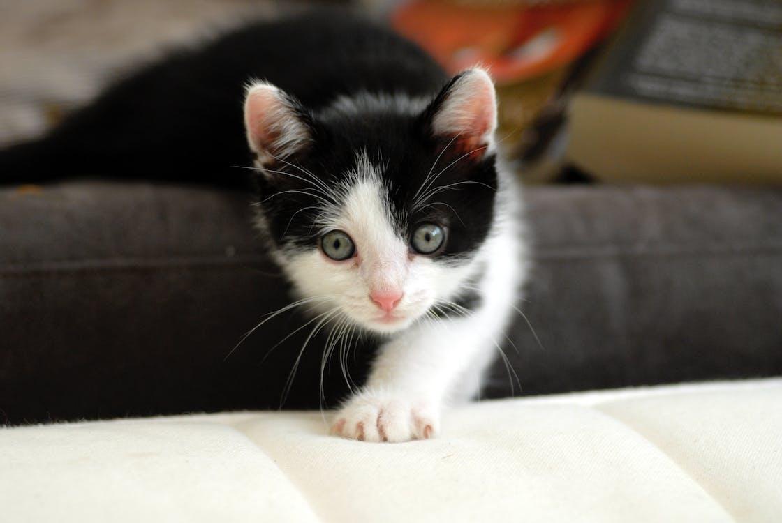 con mèo, mắt, đen và trắng