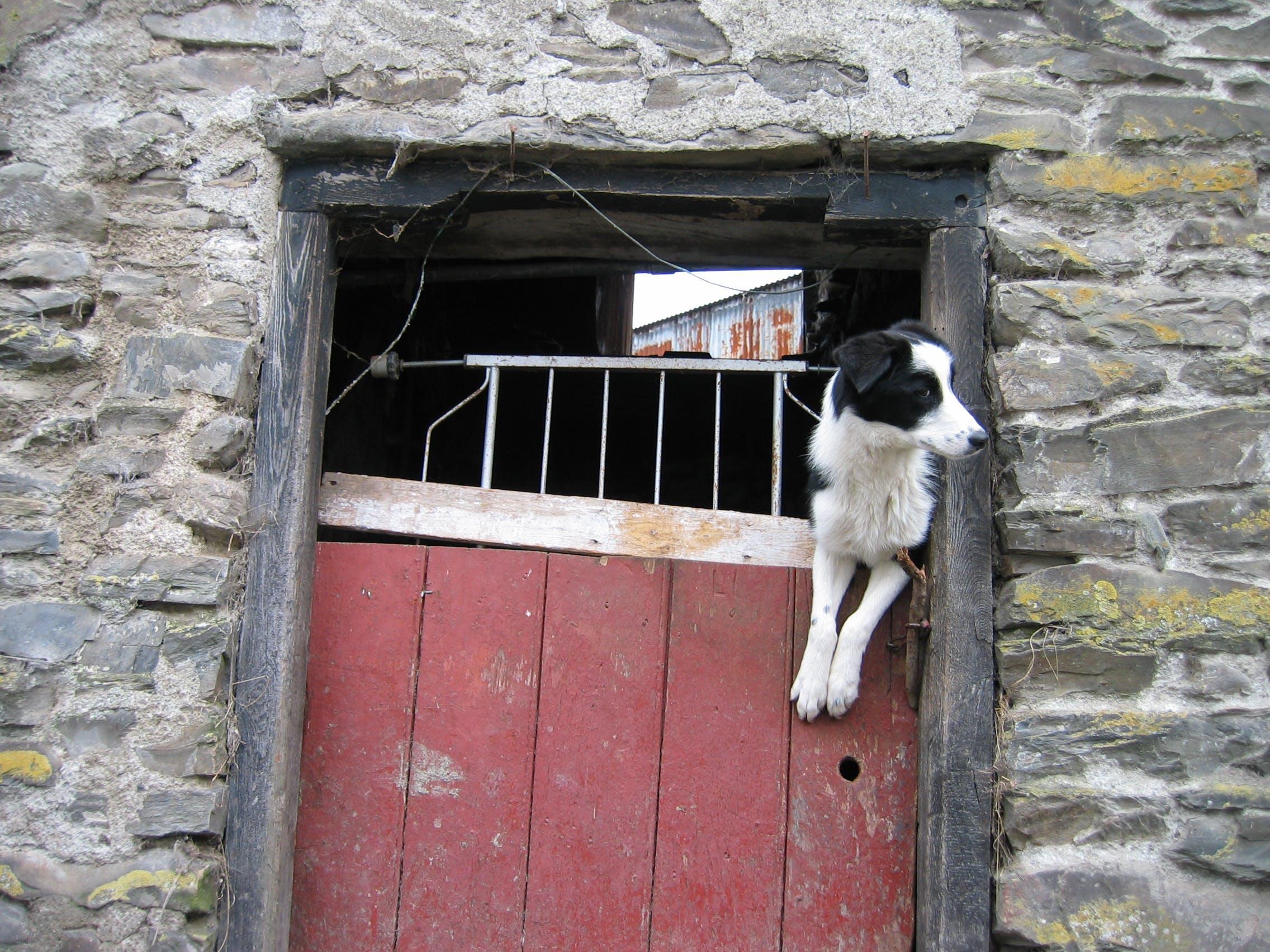 Free stock photo of dog, doorway, farm