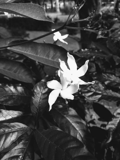 çiçek, siyah ve beyaz içeren Ücretsiz stok fotoğraf