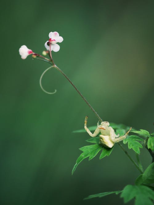 White Crab Spider on Stem with White and Red Flowers