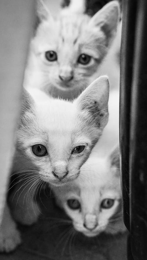 Grayscale Photo of Adorable Cats Looking at Camera
