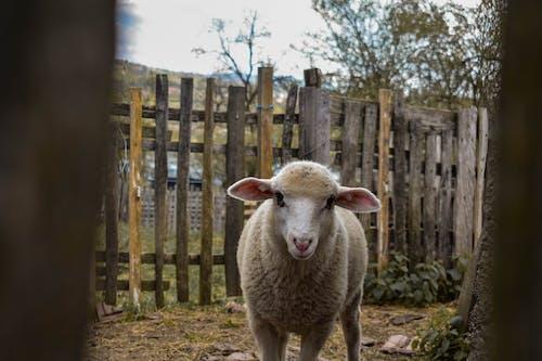 Free stock photo of animal, country, sheep