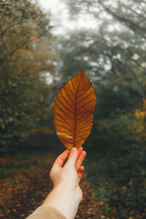 Person Holding Brown and Yellow Leaf