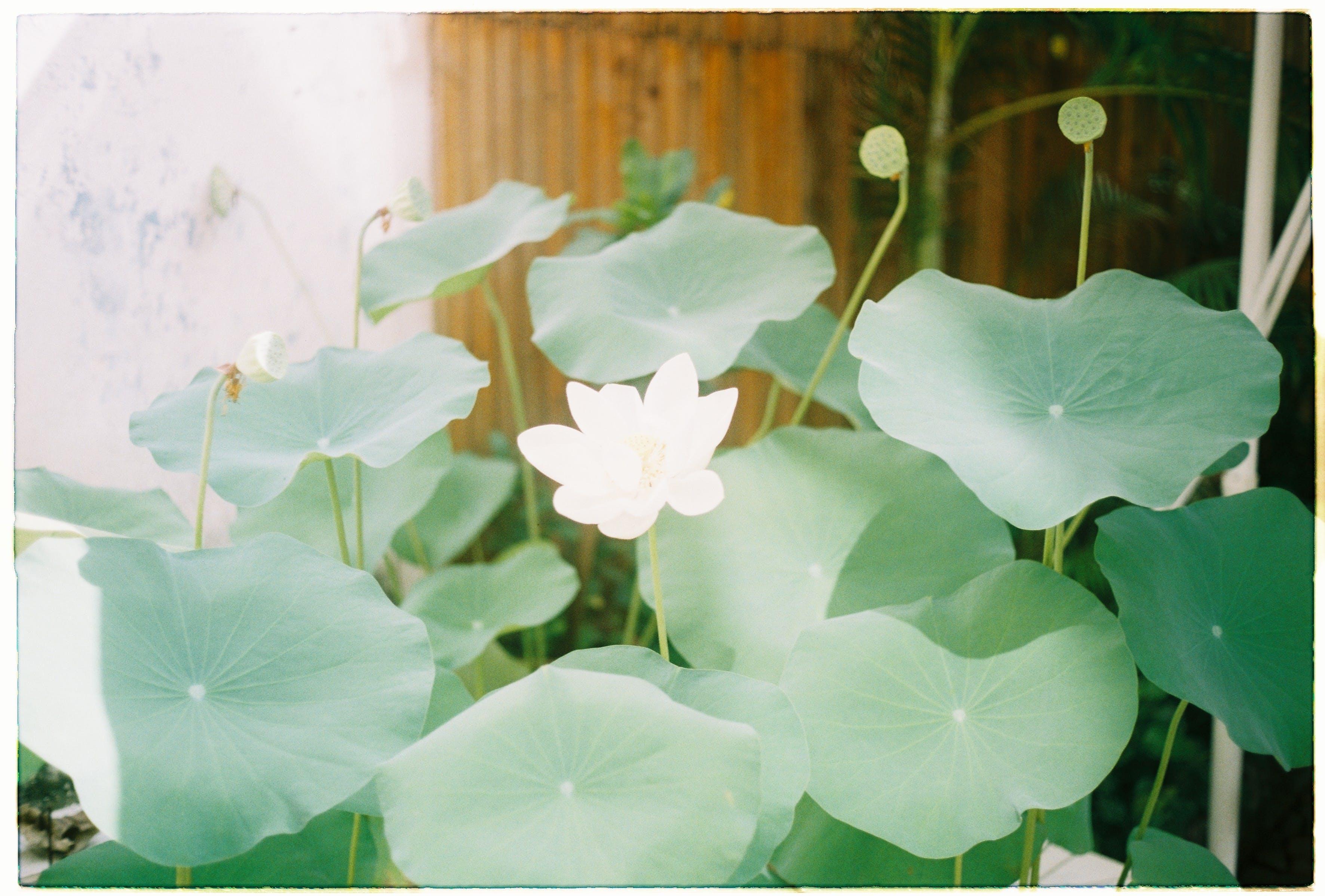Безкоштовне стокове фото на тему «thidoi, в'єтнамський лотос»