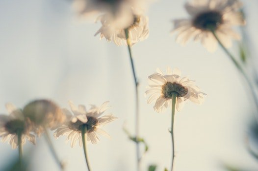 Free stock photo of flowers, petals, blur, white