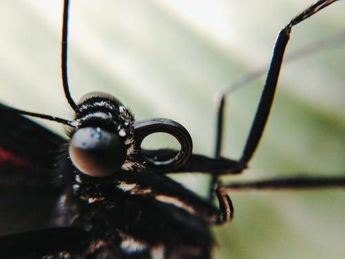 Black insect with hairy head and big eyes