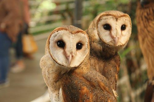A Pair of Barn Owls Up Close
