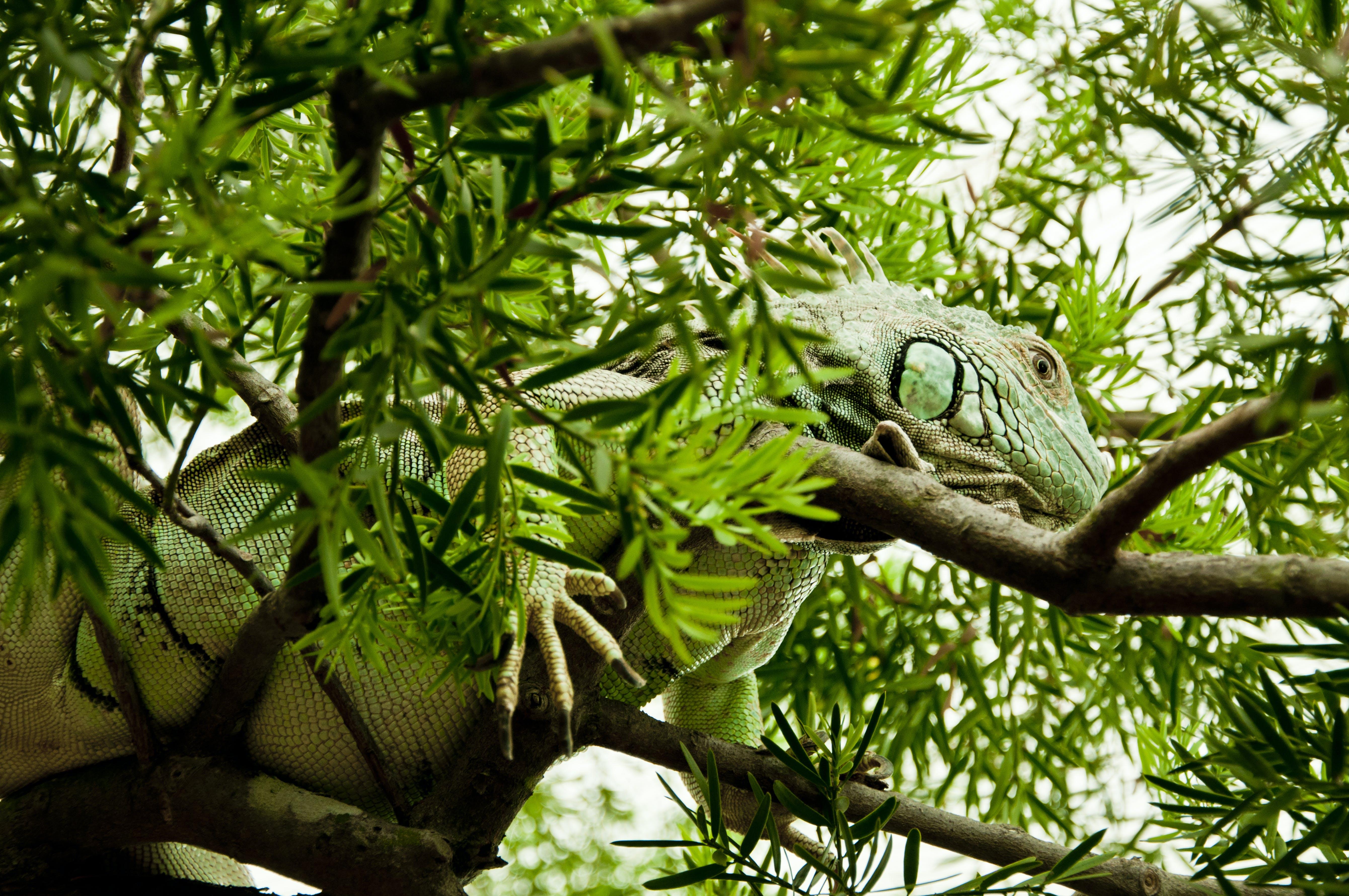 Free stock photo of animal, lizard