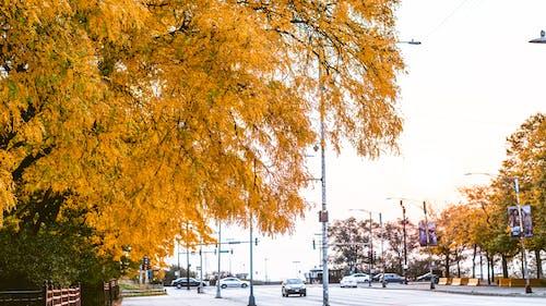 Fotos de stock gratuitas de al aire libre, árbol, arce