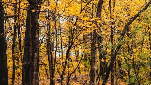 Fotos de stock gratuitas de amanecer, árbol, arce
