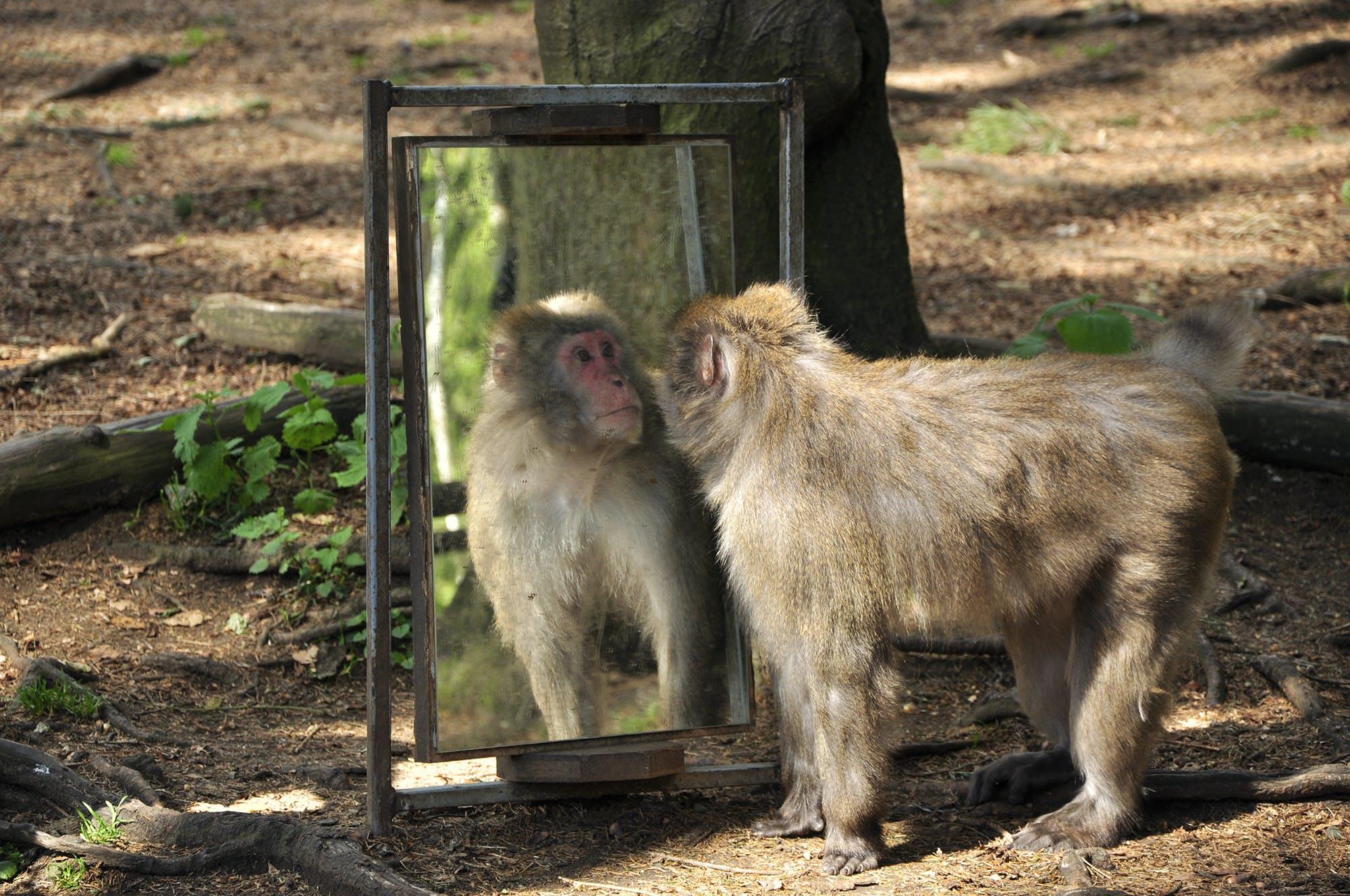 Free stock photo of animal, mirror, monkey