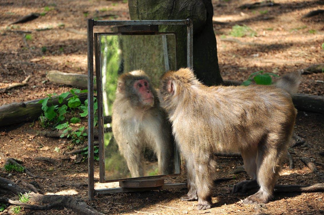 モンキー, 動物, 鏡