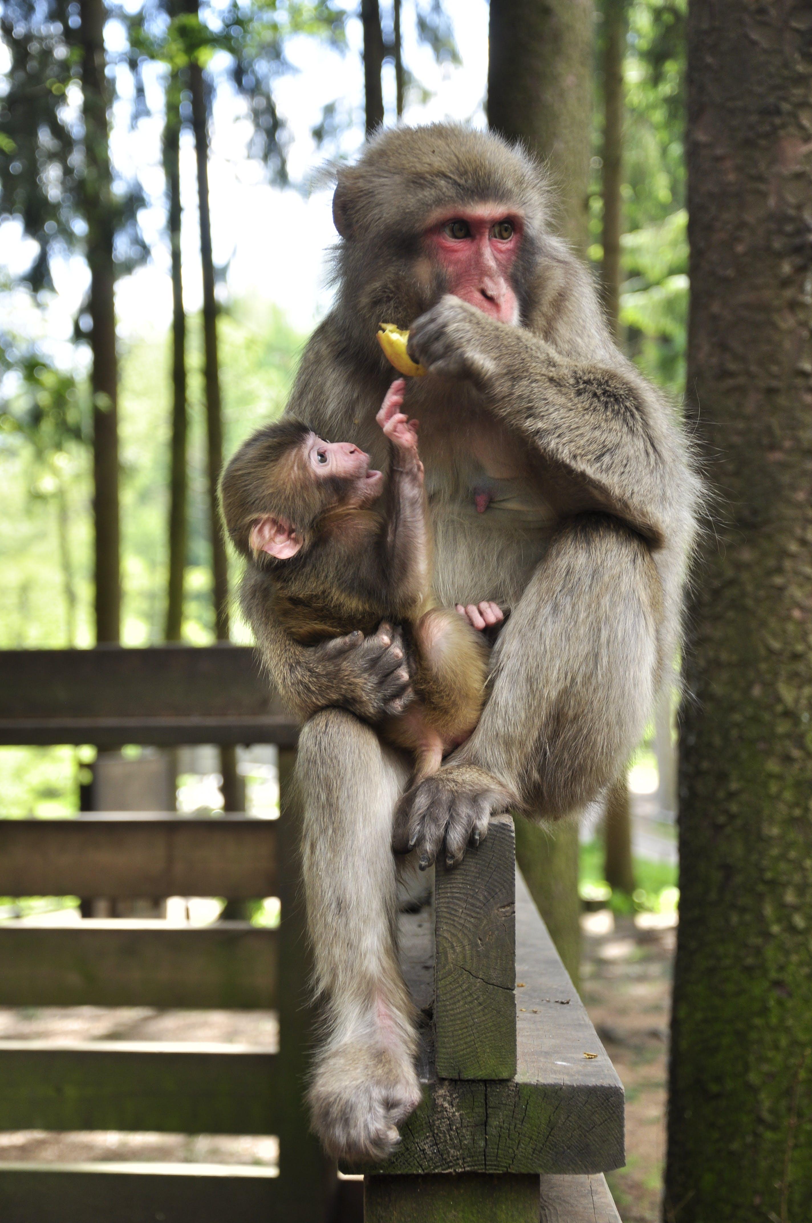 Free stock photo of animal, food, monkey
