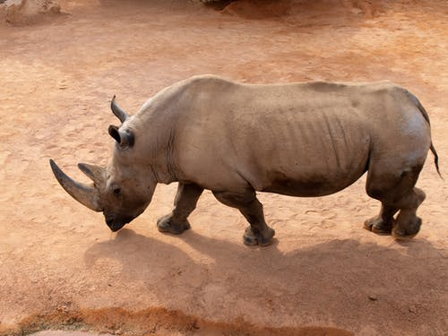 Rhinoceros on Brown Sand