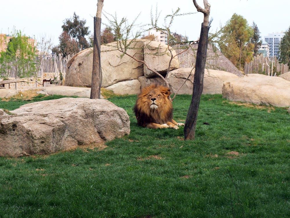 animale, leone