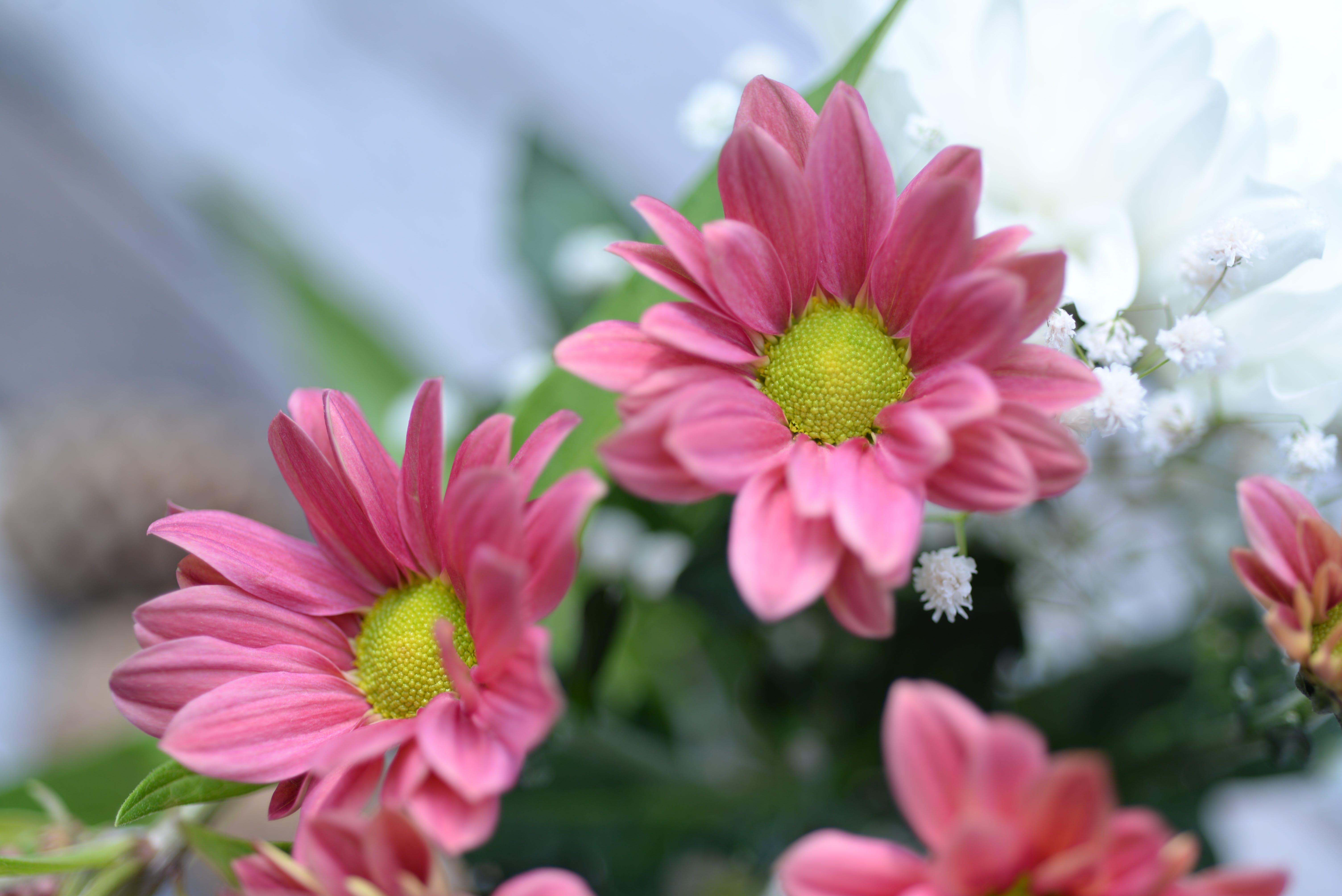 Close-up Photo of Pink Gazania Flower