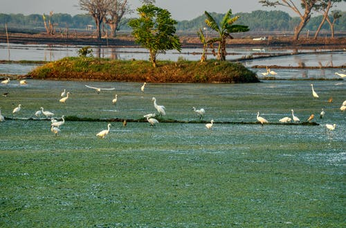 Great egrets on grass sea coast in summertime