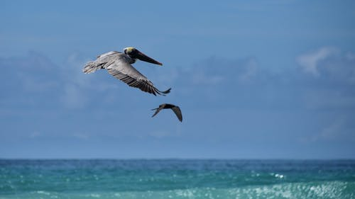 peicans, 飛行 的 免費圖庫相片