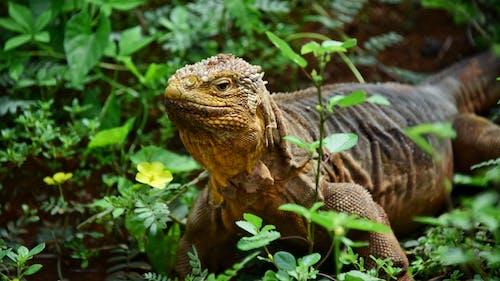 陸地鬣蜥 的 免費圖庫相片