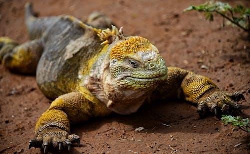 Imagine de stoc gratuită din teren iguana