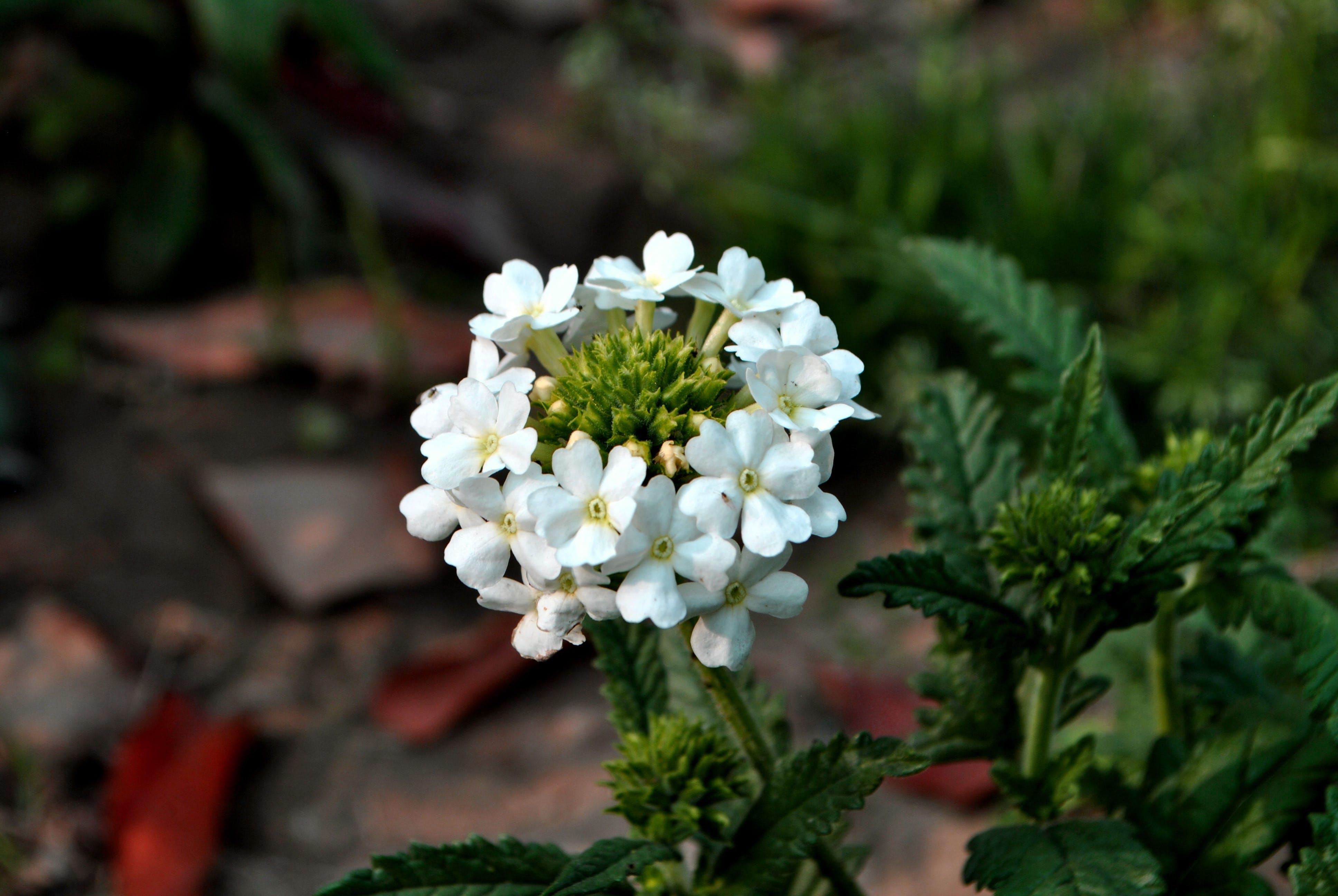 Free stock photo of flowers, white flower
