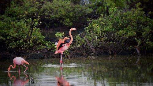 Imagine de stoc gratuită din păsări flamingo